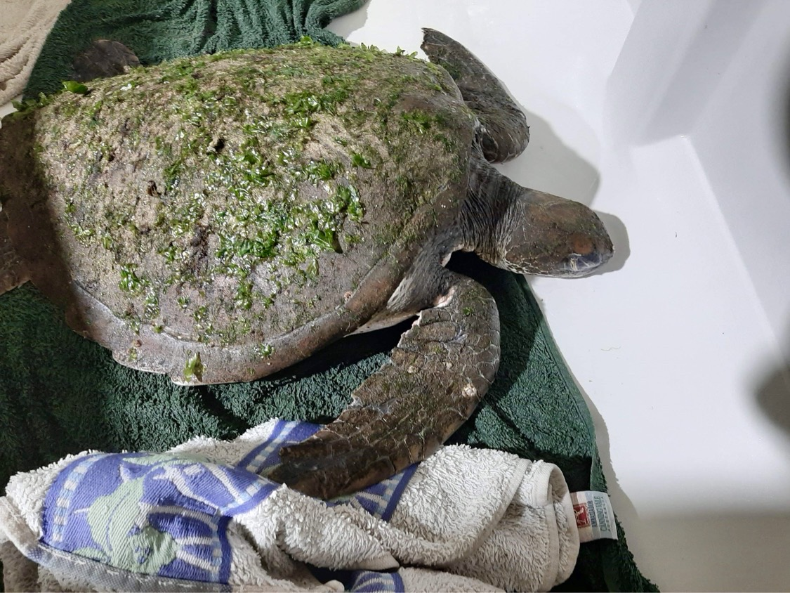 Rescued Green Sea Turtle at Sea Shelter