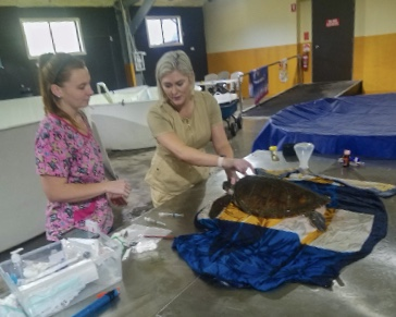 The Wild Vet working on rescued Sea Turtle