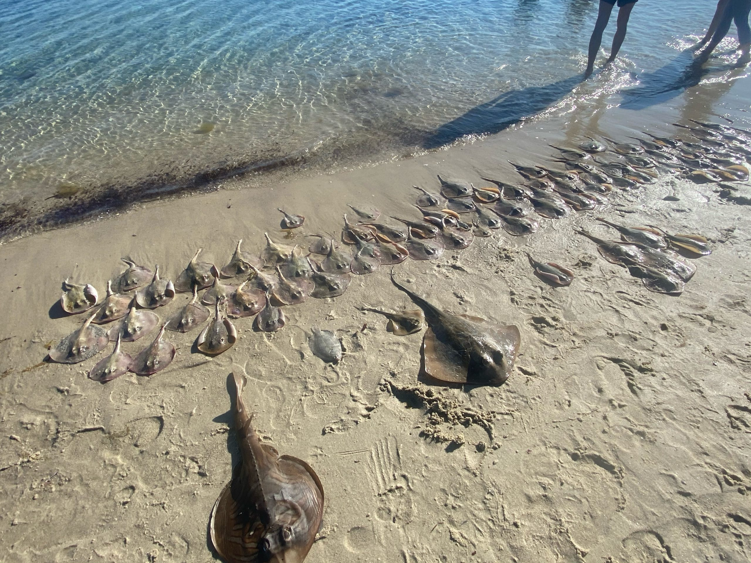 A few of the deceased rays found by Sea Shelter
